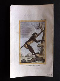 Buffon 1812 Antique Hand Col Print. Short-Tailed Macaque. Monkey